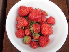 03イチゴの収穫09-5-25