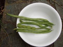 02インゲンの初収穫09-6-30