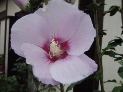 02ムクゲの開花09-6-29
