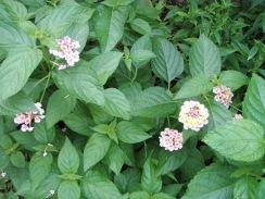 04ランタナの開花09-6-25
