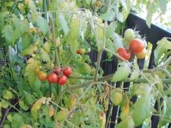 01中玉トマトの生育09-7-30
