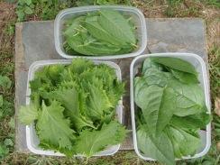 02野菜の収穫09-8-24