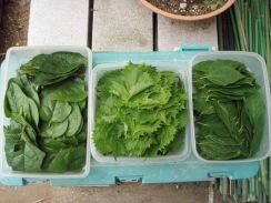 04野菜の収穫09-8-30