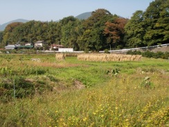 01ソバ畑と水田09-10-31
