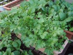 01水菜の生育09-10-29
