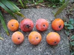 02柿の収穫09-10-30