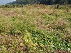 05小麦畑の刈込前09-10-31