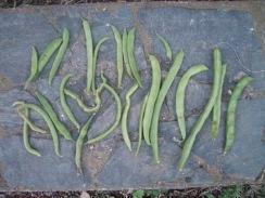 01インゲンの収穫09-11-24