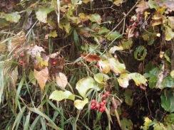 08ノイバラの赤い実09-11-25