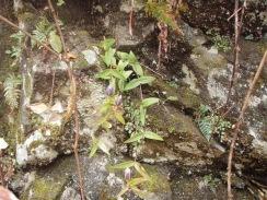 09リンドウの蕾がたくさん09-11-25