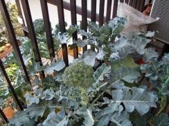 01収穫前のブロッコリー09-12-30