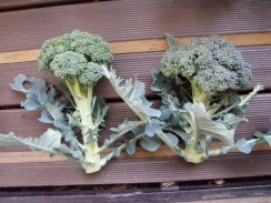 02収穫したブロッコリー09-12-30