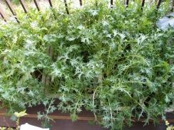 03収穫前の水菜09-12-30