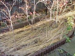 03敷き藁したブルーベリー畑09-12-28
