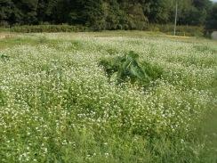 05ソバの白い花が満開09-10-4