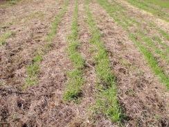 01元気な小麦の生育10-1-31