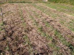 01小麦の生育10-1-24