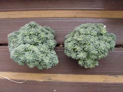 02収穫したブロッコリー10-1-25