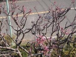01ウメの開花10-2-23
