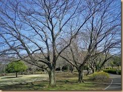 01蕾が膨らんだ桜11-3-28