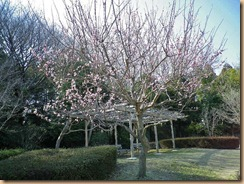 03八重桜11-3-28