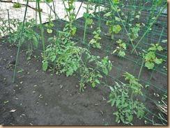 02中玉トマトの摘芯11-5-27