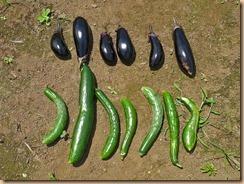 04ナス・キュウリの収穫11-6-28