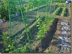 05ゴーヤに化成肥料11-6-28