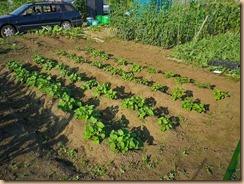 10サツマイモの生育11-6-28