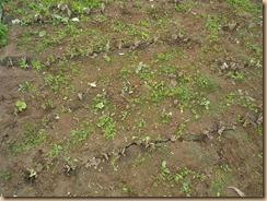 01ゴボウの葉を削除する11-7-28