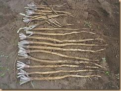 03ゴボウの収穫11-7-27