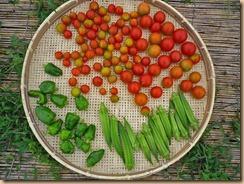 05野菜の収穫Ⅱ11-7-27
