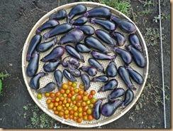 01野菜の収穫11-5-25
