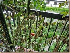 01収獲前の大玉トマト11-8-27