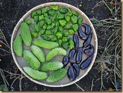 01野菜の収穫11-8-31