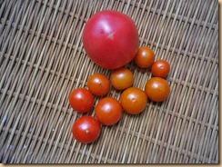 02収獲したトマト11-8-27