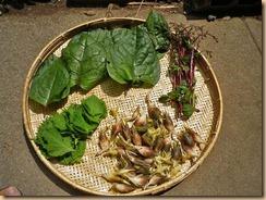 03家庭菜園の収穫11-8-28