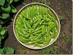 03野菜の収穫11-8-29