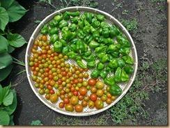 04野菜の収穫11-8-29