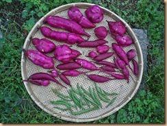 01サツマイモの収穫11-9-27