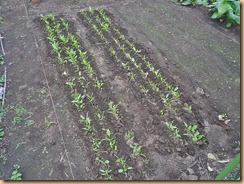 04ホウレンソウに配合肥料施肥し土寄せ11-10-30