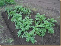 05ジャガイモに化成肥料施肥し土寄せ11-10-30