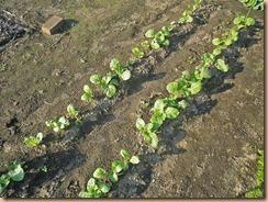 10高菜の生育11-10-27