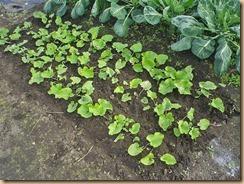 03ゴボウに施肥と土寄せ11-11-29