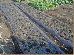 03畑土でタマネギ黒マルチを押さえる11-12-28