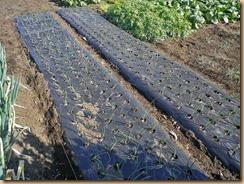 04タマネギに化成肥料施肥11-12-24
