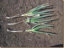 05長ネギの収穫11-12-24