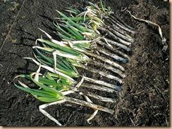 02長ネギの収穫12-1-27