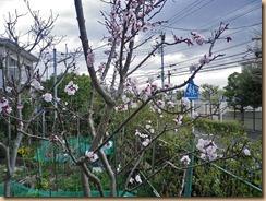 01アンズの開花12-3-31