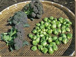 03ブロッコリー・芽キャベツの収穫12-3-27